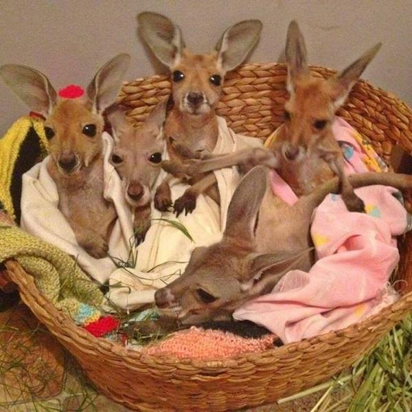 kanguru yavrusu