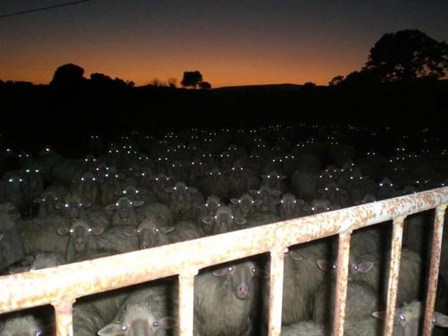 korkunc-koyunlar