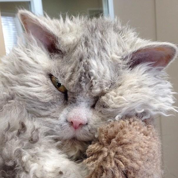 koyun-kedi-albert-yine-sinirli