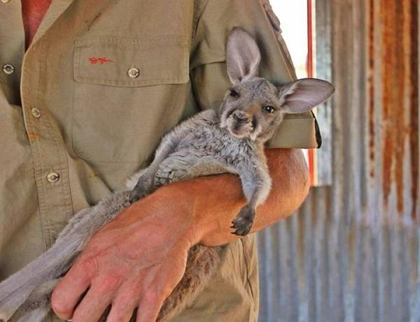 uyu kanguru