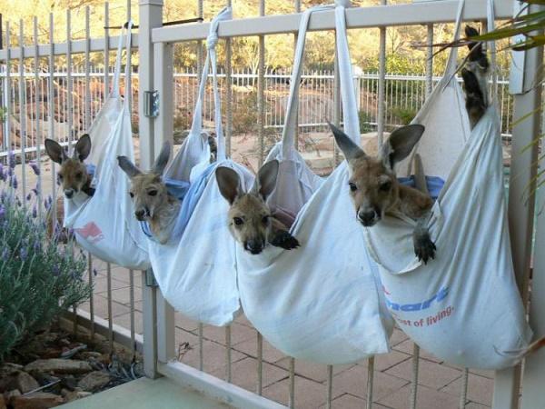 yetim kanguru