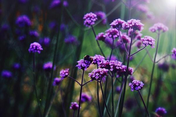 lavender feilds
