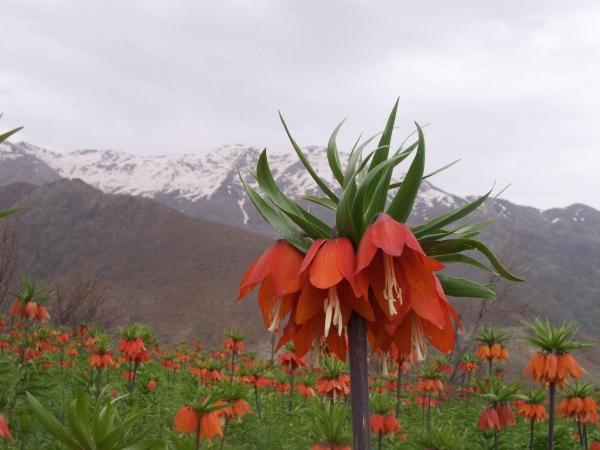 tulipa dag
