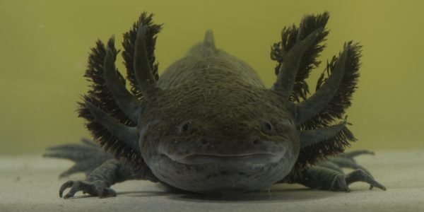axolotl-listelist