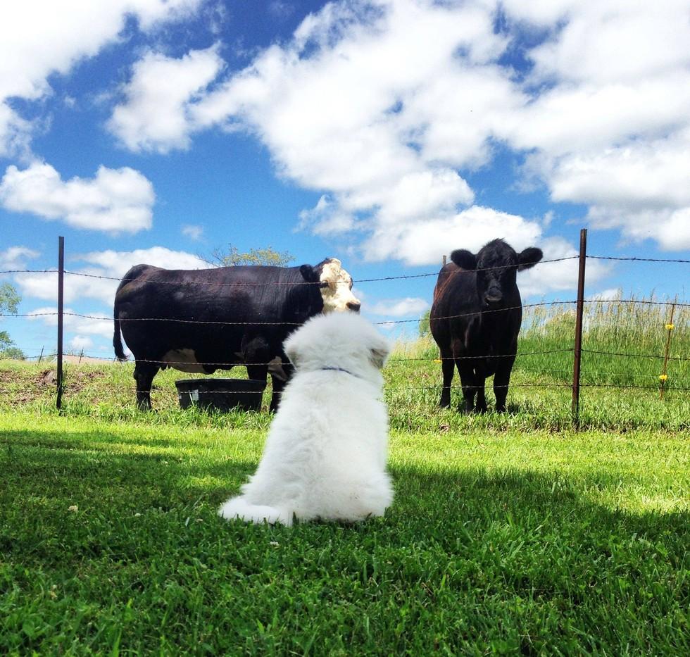 beyaz-kopek-inekler