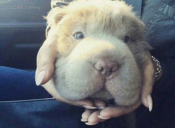 cute-bear-lookalike-dog-tonkey-10