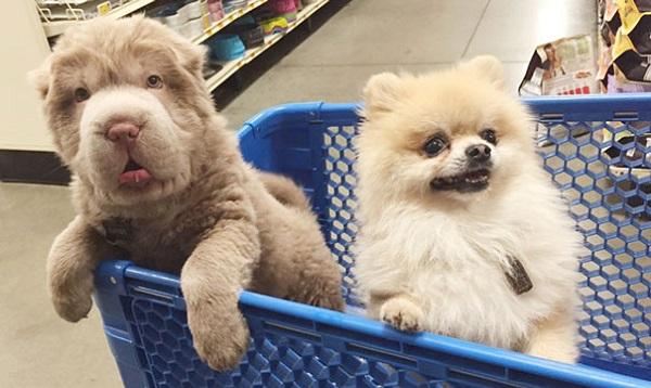 cute-bear-lookalike-dog-tonkey-15