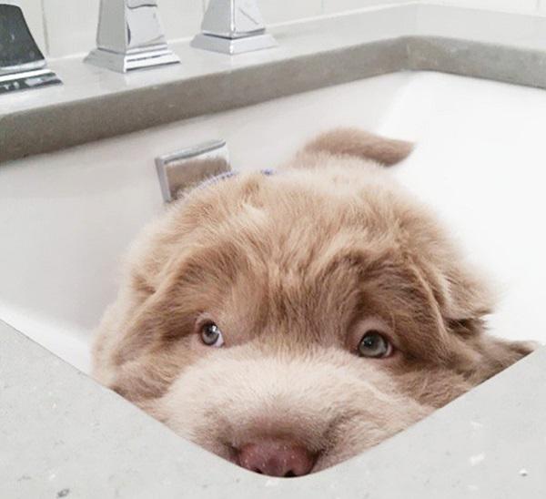 cute-bear-lookalike-dog-tonkey-7