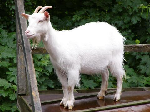 keçi sakalı