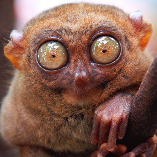 tarsier-listelist