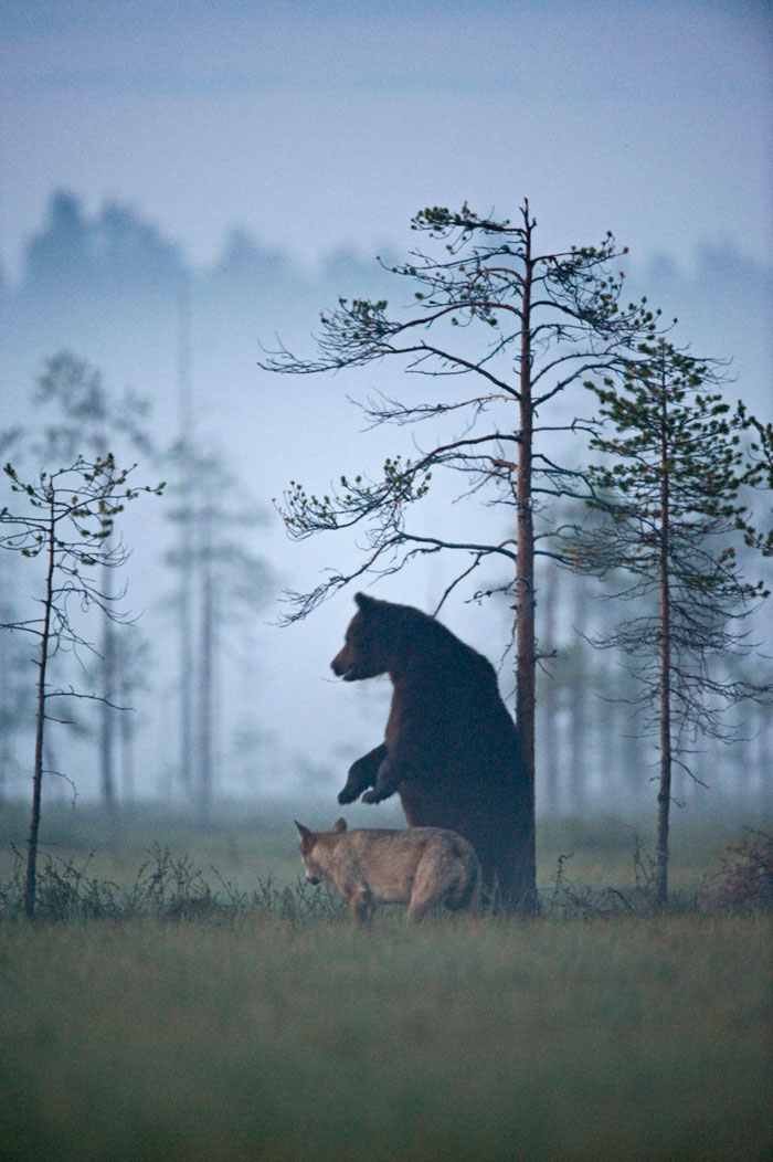 rare-animal-friendship-gray-wolf-brown-bear-lassi-rautiainen-finland-131