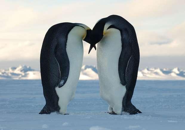 Emperor_Penguin_Kiss