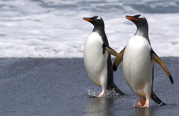 gay-penguins