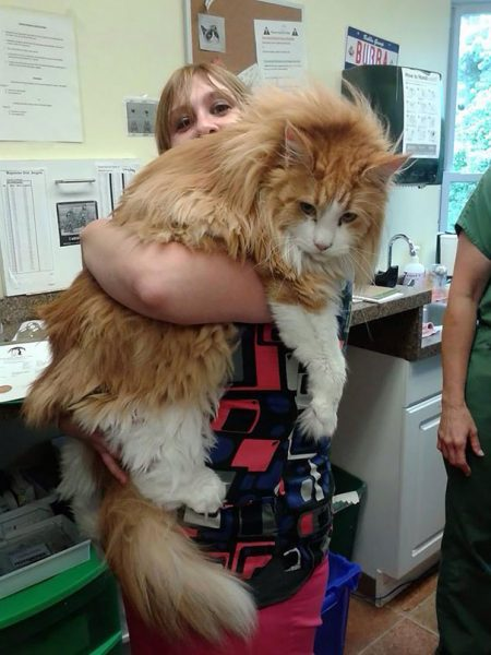 big-cats-maine-coons-52__605