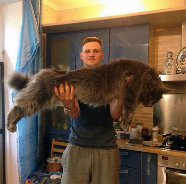maine-coon-cats-22__605