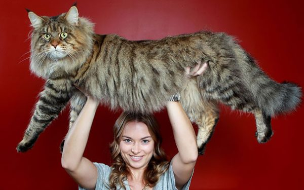 maine-coon-cats-2__605