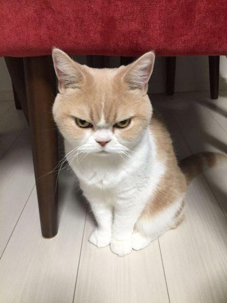 1.japon.grumpy.cat