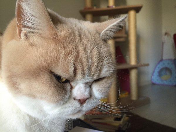 13.japon.grumpy.cat