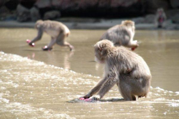 100-maymun