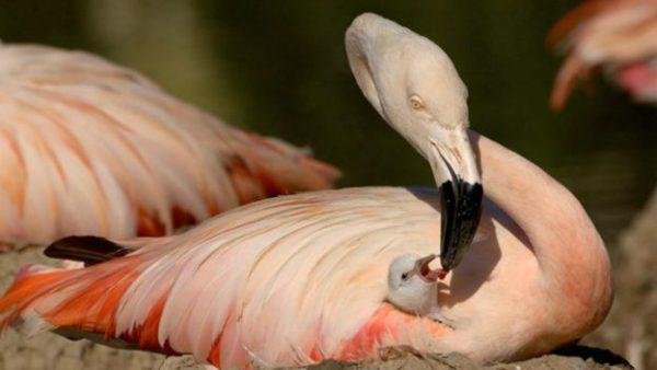 19.sili.flamingosu