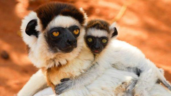 2.madagaskar.lemuru