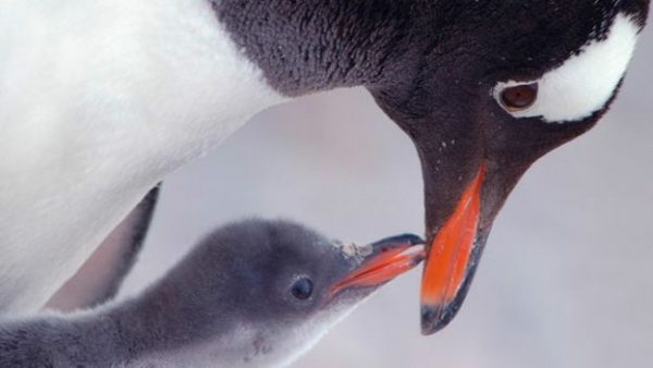 3.papua.pengueni