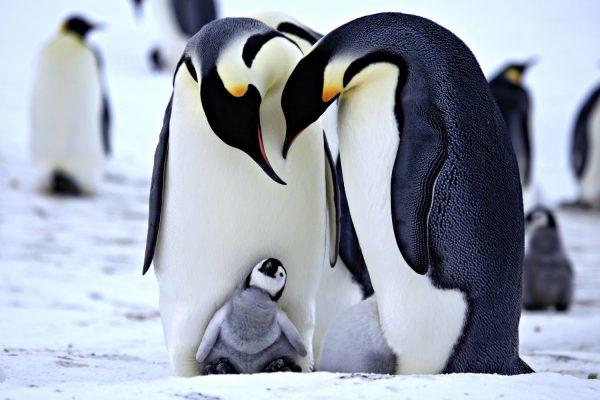 3.tek.esli.penguenler