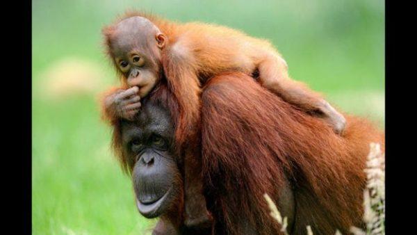 5.orangutan