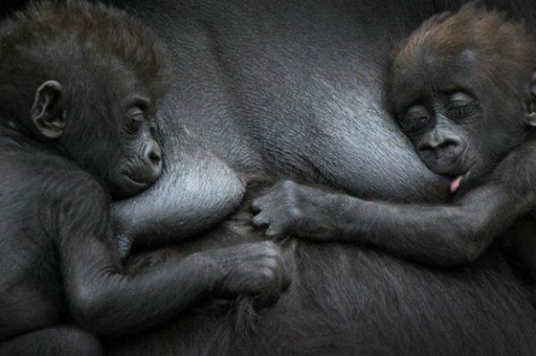 6.goril.ve.yavrulari