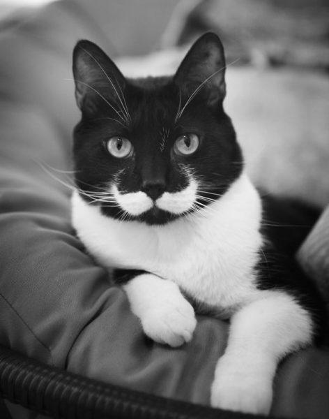 biyikli-kedi