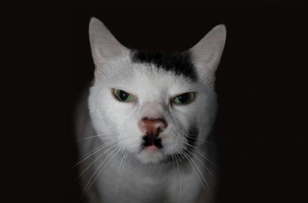 hitler-kedi
