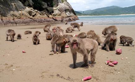 maymun-patates