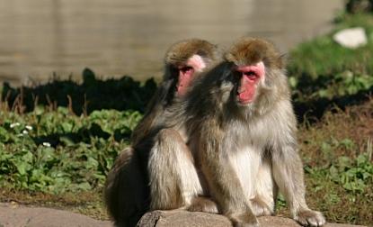 yasli-maymun