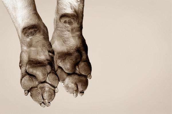 dogs-sweat-through-their-paws-photo-u1