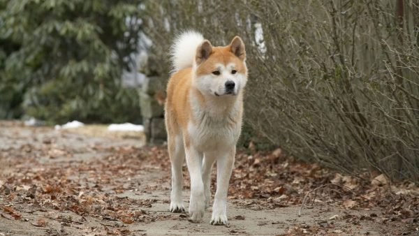 pictures-of-hachiko-most-loyal-50816