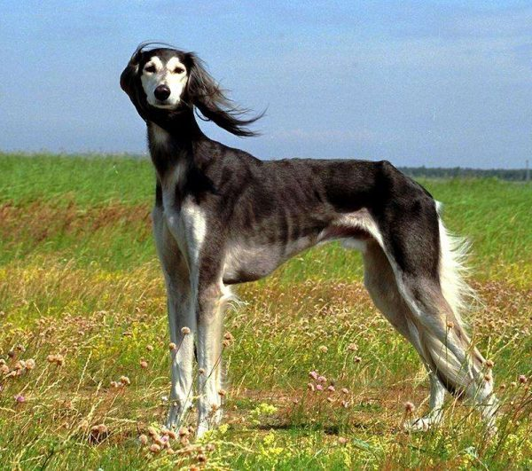 the-saluki-is-the-oldest-known-dog-breed-photo-u1
