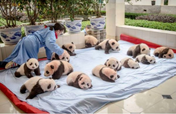 panda-bakicisi