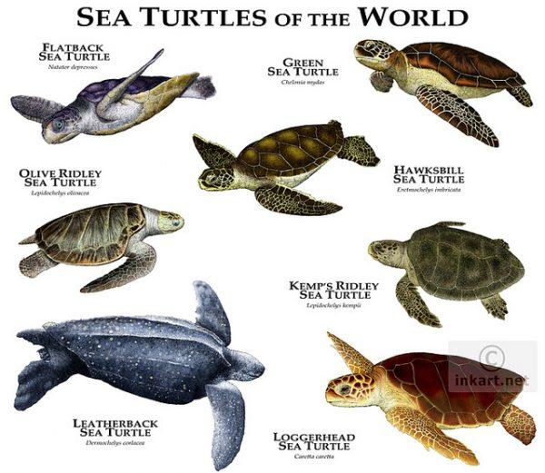 1.denizkaplumbagalari.belkis