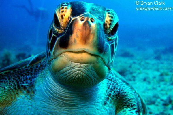 15.denizkaplumbagalari.belkis