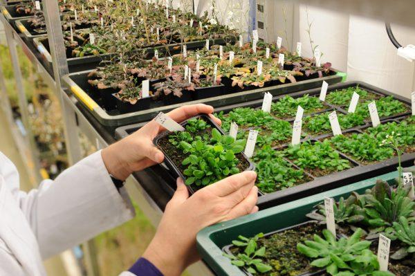 Arabidopsis thaliana im Labor