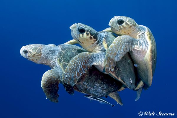 5.denizkaplumbagalari.belkis
