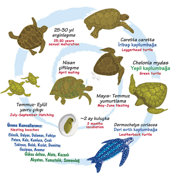 6.denizkaplumbagalari.belkis
