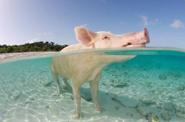 Bahamalar-domuz-plaji
