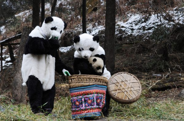 WOLONG, CHINA - FEBRUARY 20: (CHINA OUT) Researchers dressed as pandas place giant panda cub Tao Tao into a basket before they take it for a walk, in a training base at the Hetaoping China Conservation and Research Center for the Giant Panda on February 20, 2011 in the Wolong Nature Reserve, Aba Tibetan and Qiang Autonomous Prefecture of Sichuan Province, China. In July last year, a program was launched to train giant pandas for reintroduction into the wild. Giant panda cub Tao Tao is the first animal to be subjected to the program involving feeders who perform routine checks dressed in special costumes as pandas, to reduce human influence in the environment. Now the program has entered the second phase during which Tao Tao and its mother Cao Cao will be transfered to a larger wild enclosure for further training. (Photo by China Photos/Getty Images)
