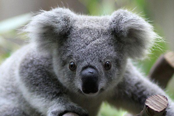 koala-beyin