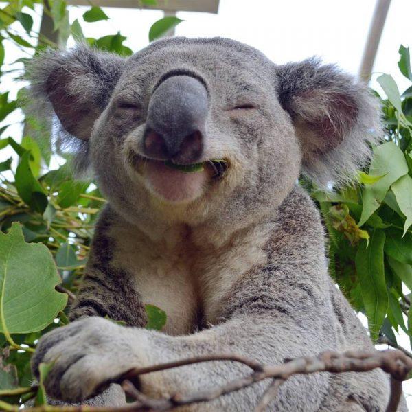 koala_glad