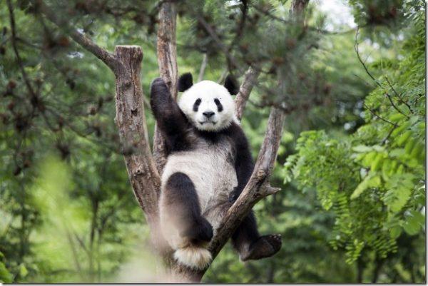 panda-kaka