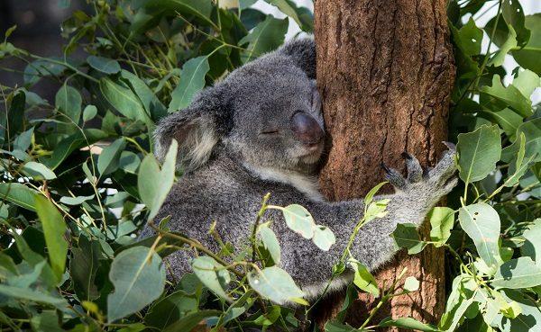 koalalar hakkında saril