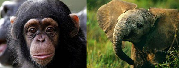 sempanze
