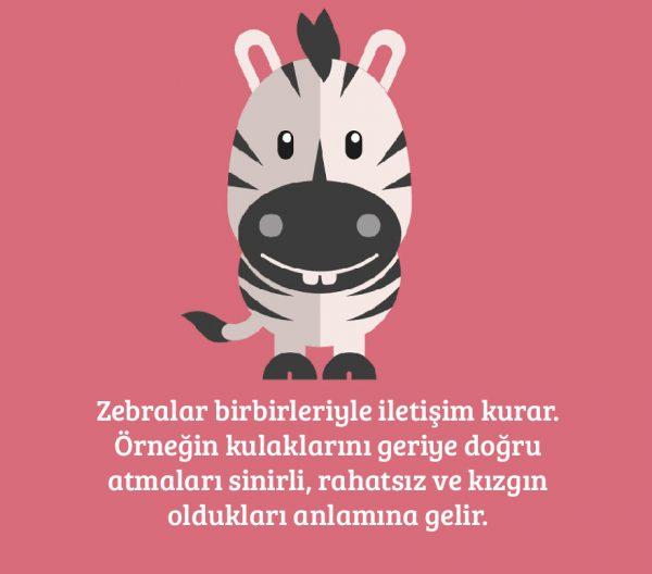 13-zebra